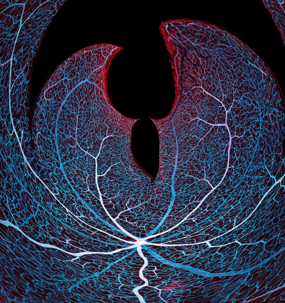 Vasculature of a Mouse Retina