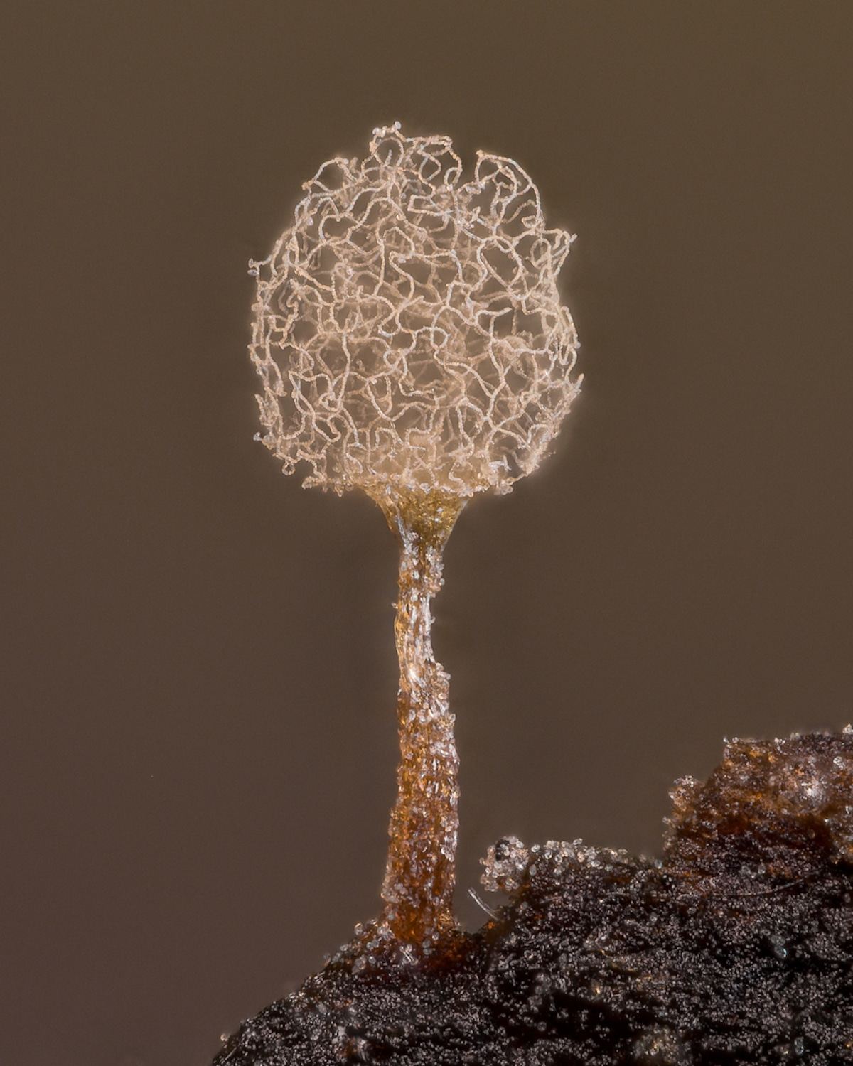 Stacked Image of Slime Mold