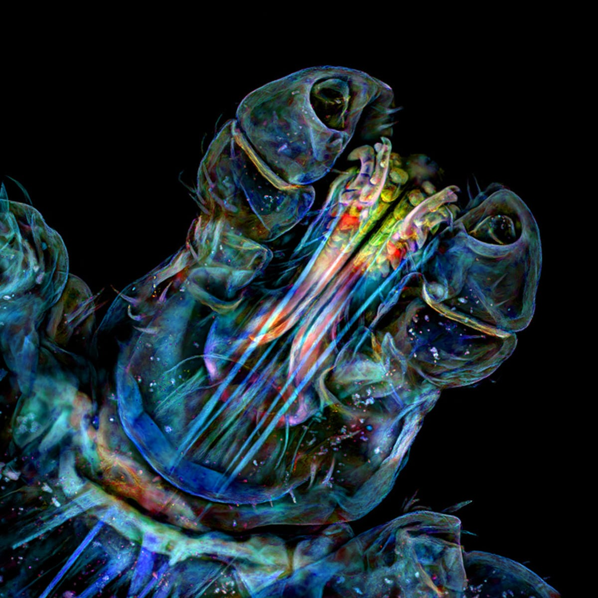 Confocal Image of the Head of a Tick