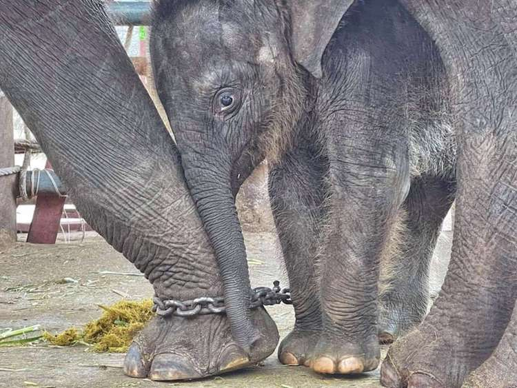 Chaba the Baby Elephant