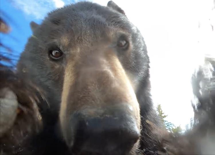 un ours enregistre une vidéo avec une caméra GoPro