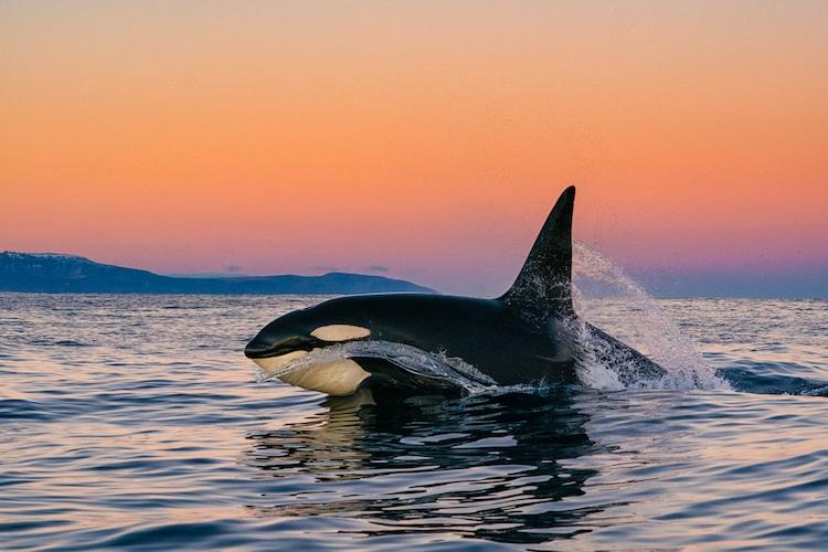 Orca Shot by Cristina Mittermeier