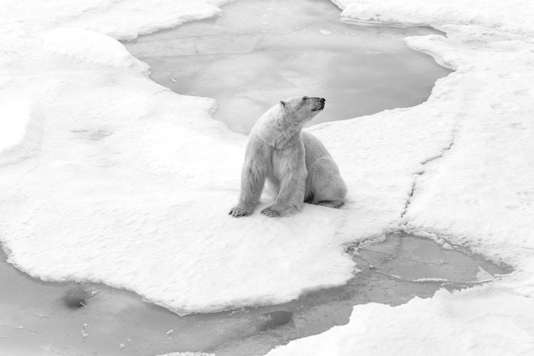 Polar Bear at the North Pole Shot by Cristina Mittermeier