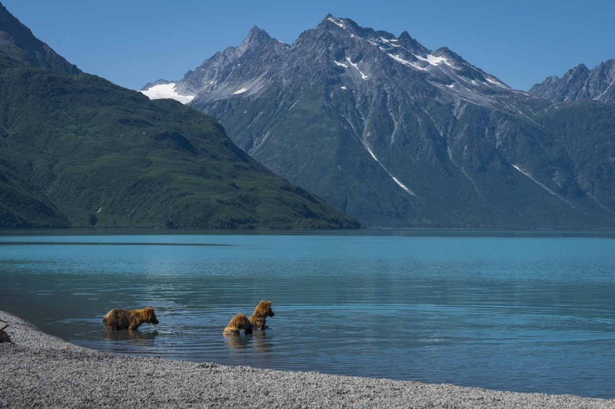 Brown Bear Cubs Learning to Fish at Lake Clark National Park