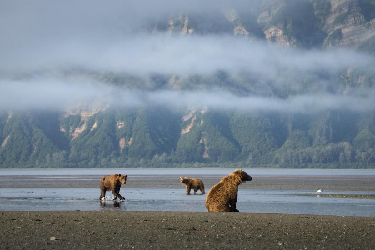 Coastal Brown Bears in Alaska