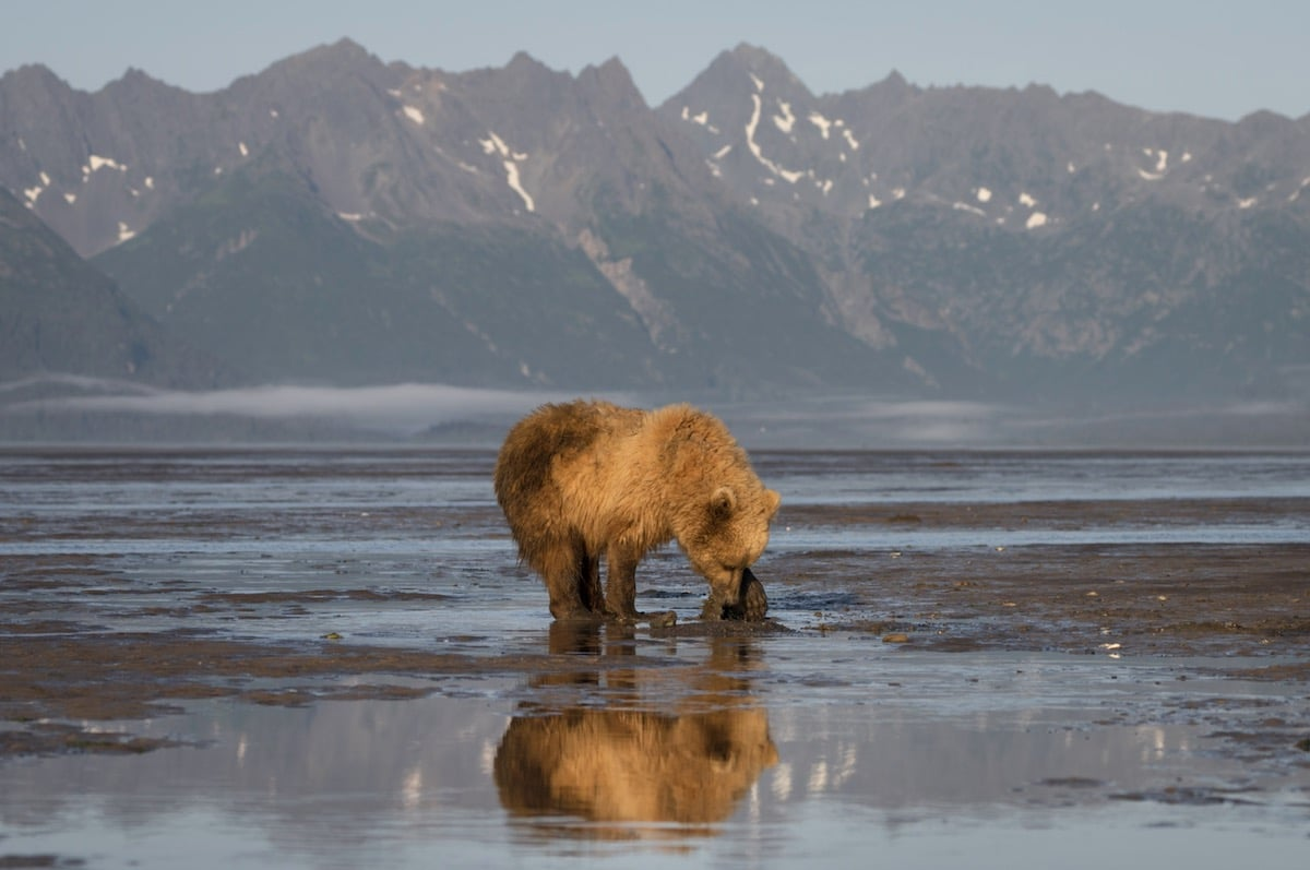 Coastal Brown Bear Clamming in Alaska