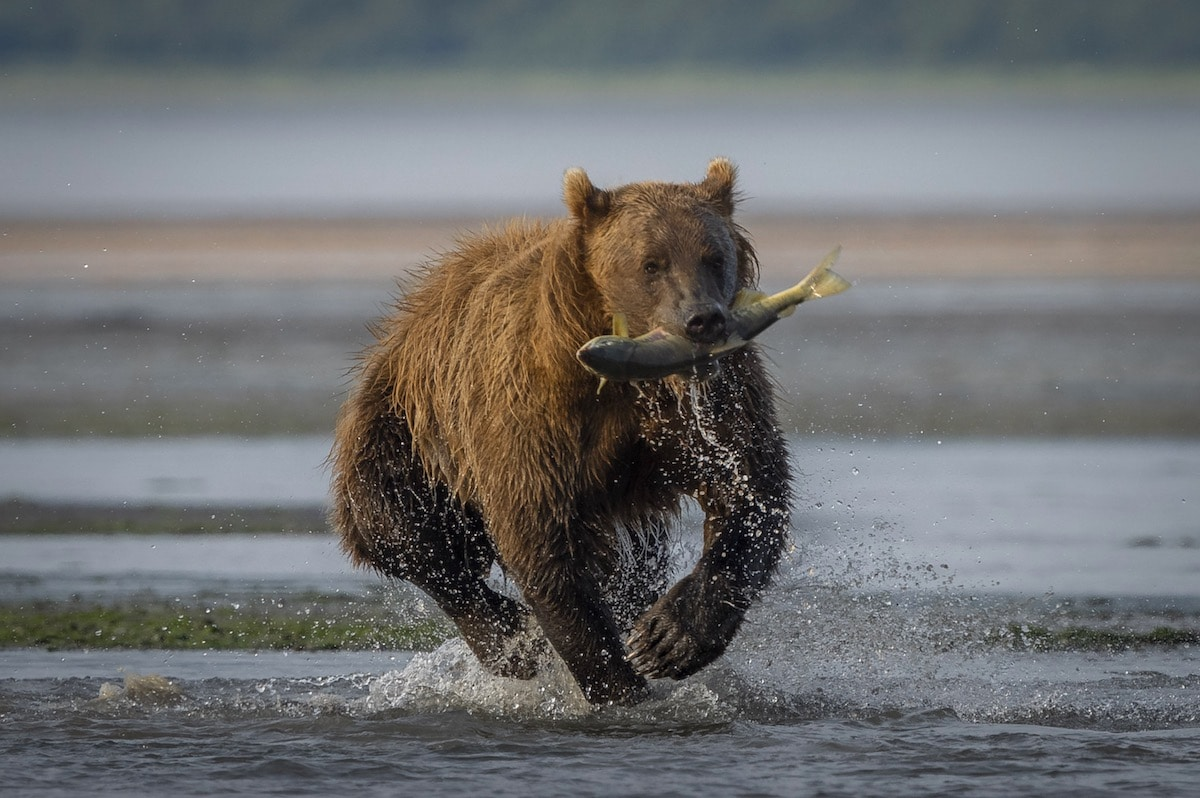 Brown Bear Catching Salmon in Chinitna Bay