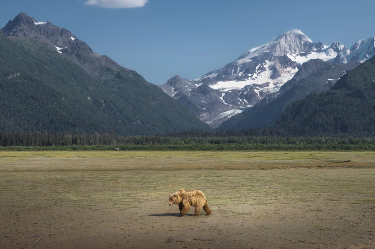 How to Photograph a Brown Bear in Alaska by Dan Zafra