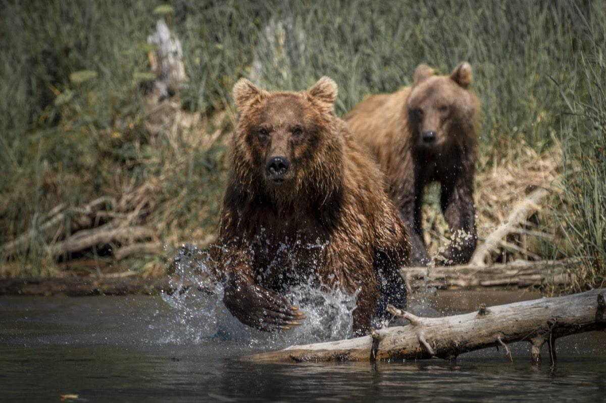 Two Coastal Brown Bears Playing in the River