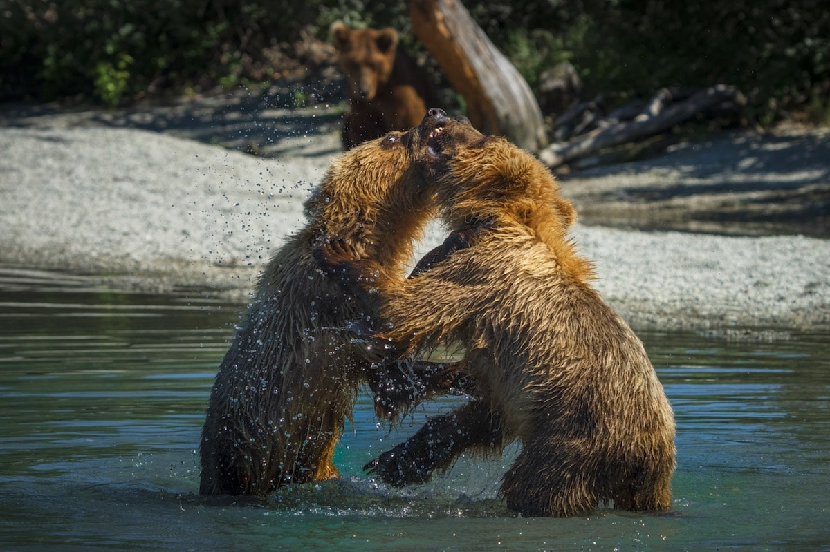 Coastal Brown Bears Fighting in Alaska
