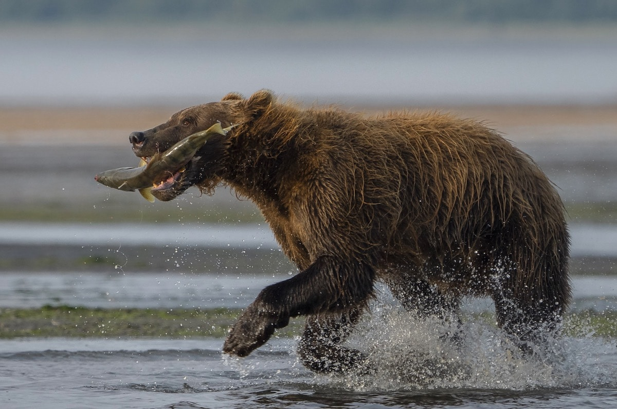 Brown Bear in Alaska with Fish in Its Mouth by Dan Zafra