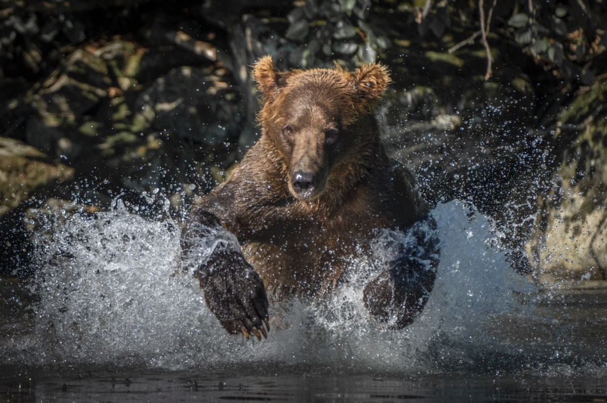 Brown Bear Salmon Fishing