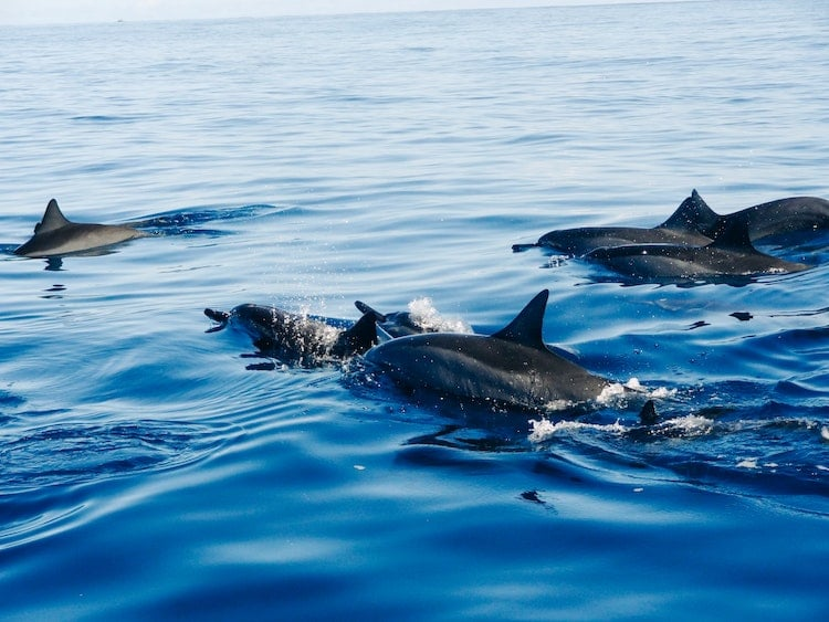 Dolphins Save Swimmer