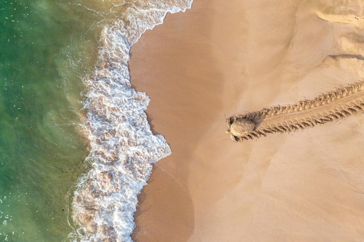 Photo aérienne d'une tortue verte se dirigeant vers l'eau après la ponte de ses œufs