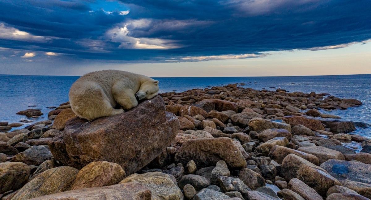Ours dormant sur des rochers