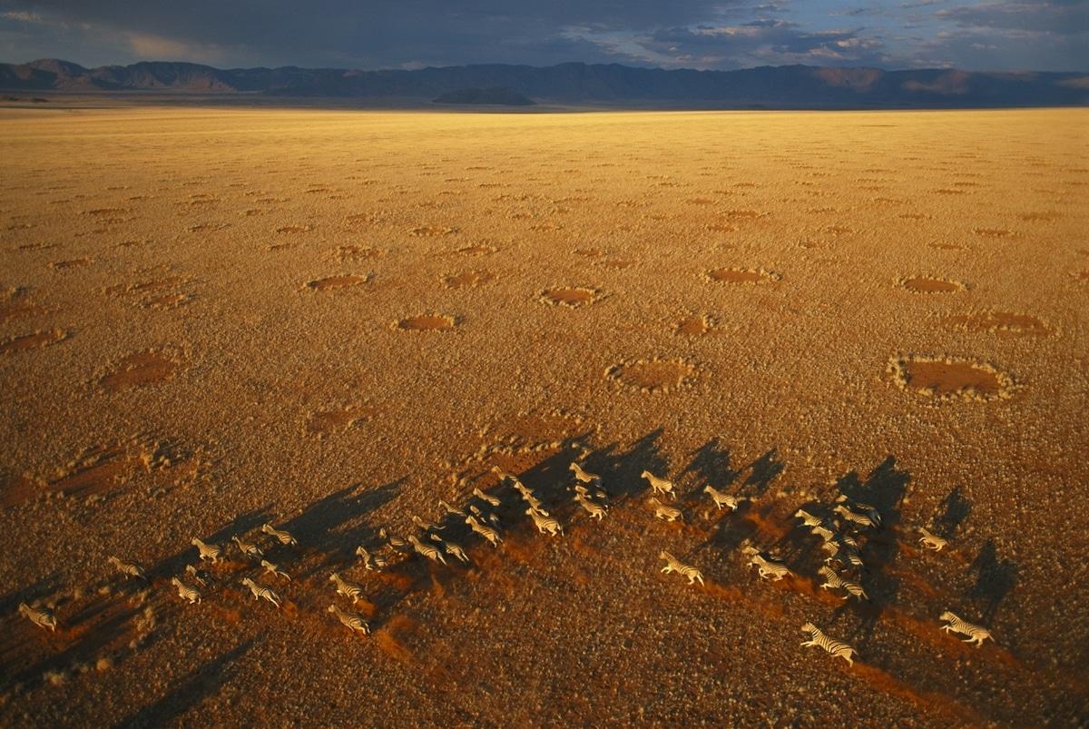 Troupeau de zèbres dans la réserve naturelle du Namib Rand en Namibie