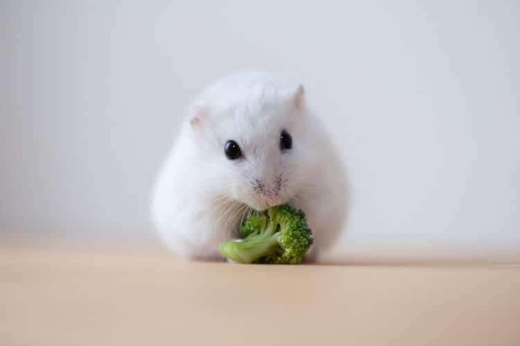 Hamster Loves Heart-Shaped Cucumber