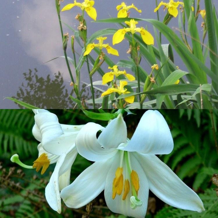 Lys et Iris des Marais