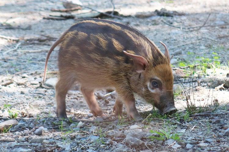 Red River Hog Piglet Born at Franklin Park Zoo