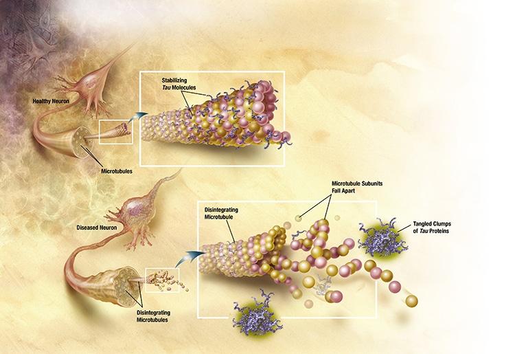Tau Proteins