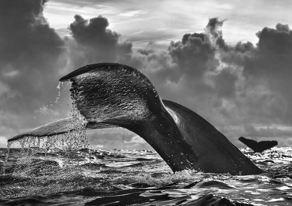 Black and White Photo of a Whale Tail by Chris Fallows