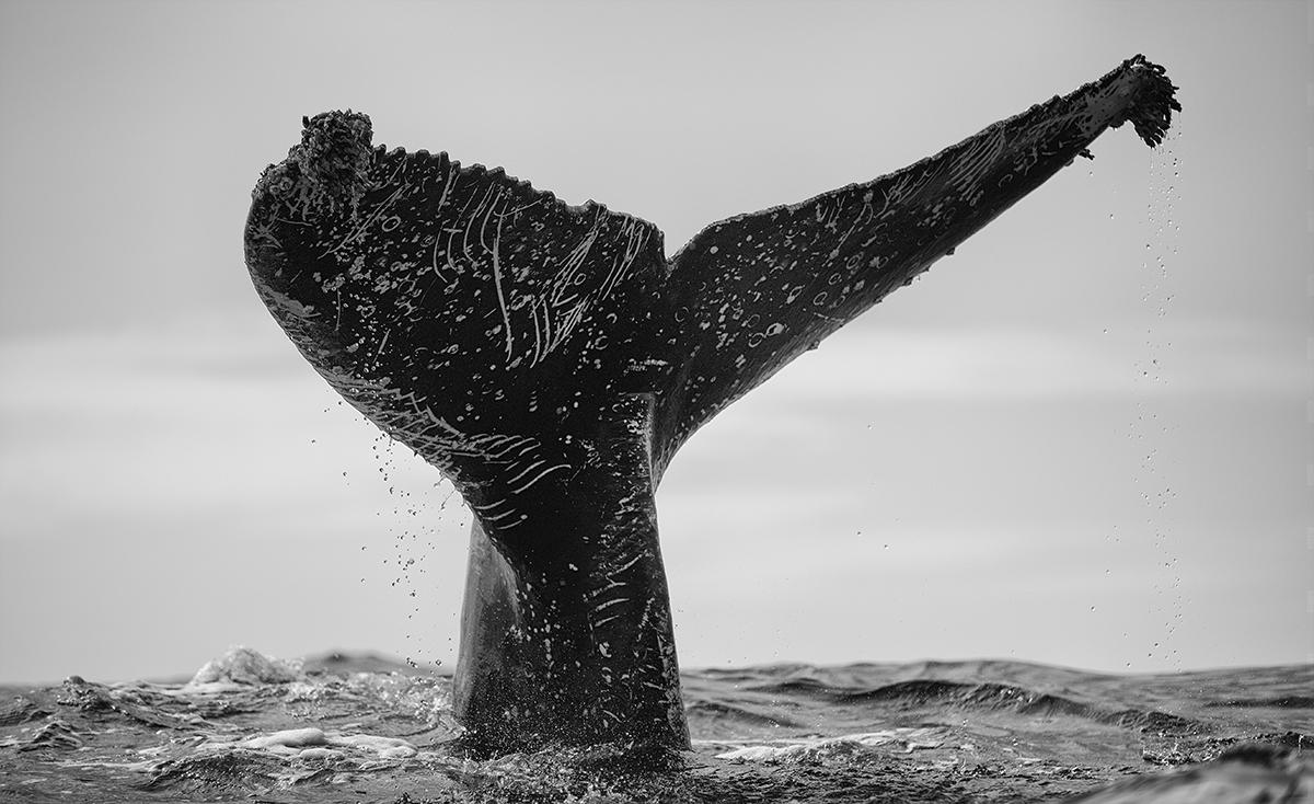 Whale Fluke by Chris Fallows