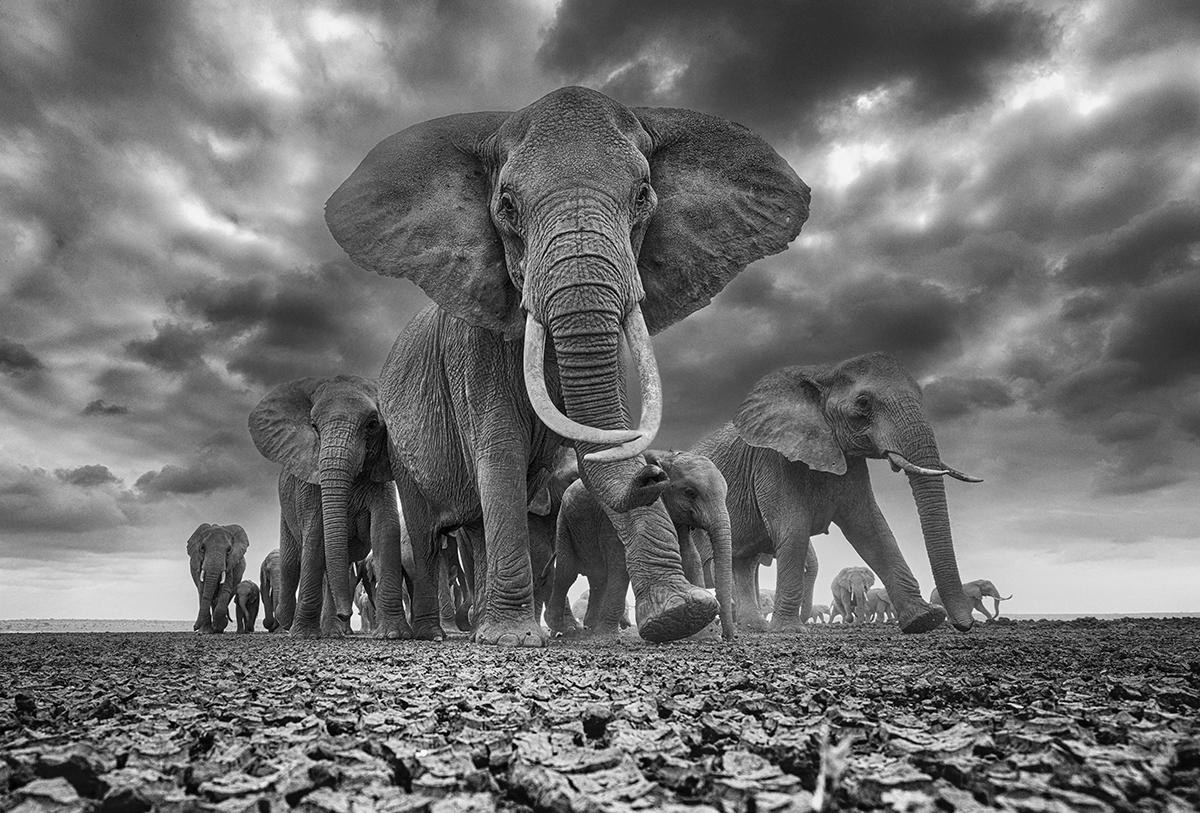 Herd of Elephants by Chris Fallows