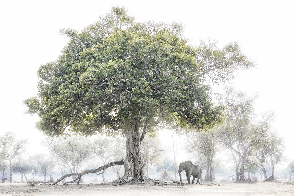Chris Fallows Photo of Elephant Under a Fig Tree