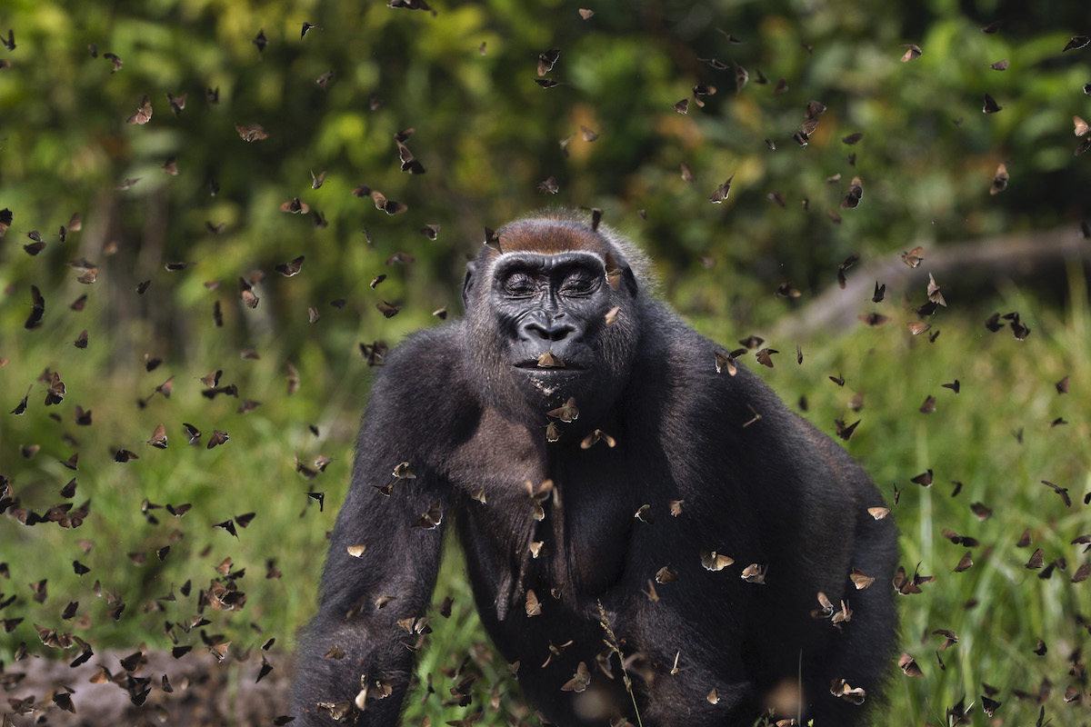 Western lowland gorilla female 'Malui' walking through a cloud of butterflies she has disturbed in a bai