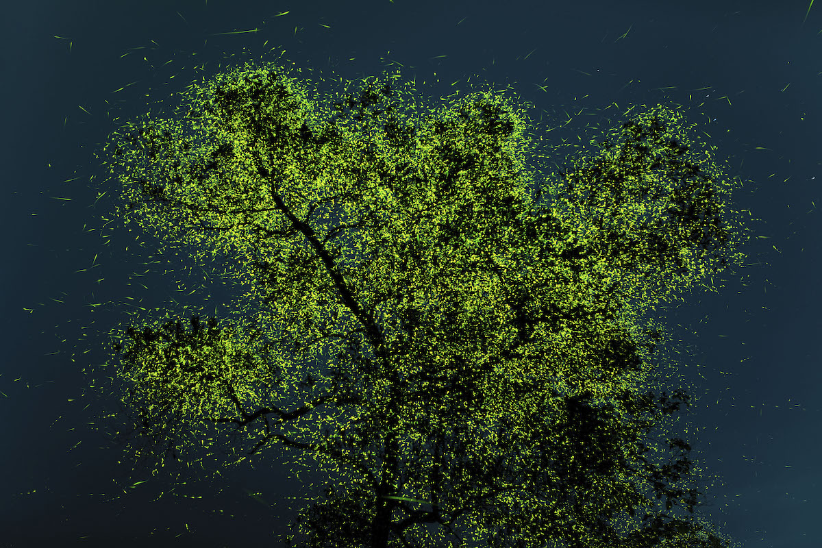 Fireflies Congregating in India Just Before a Monsoon