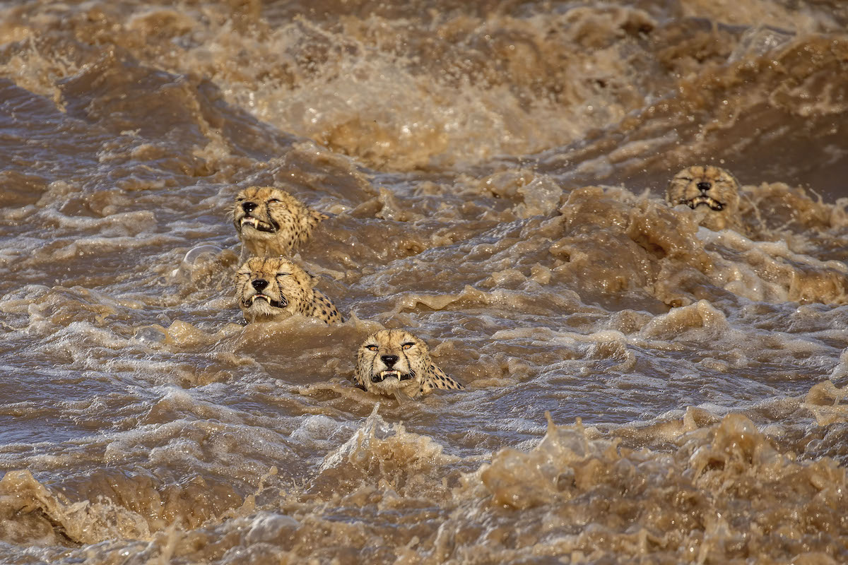 Five Male Cheetahs Swimming in Raging River