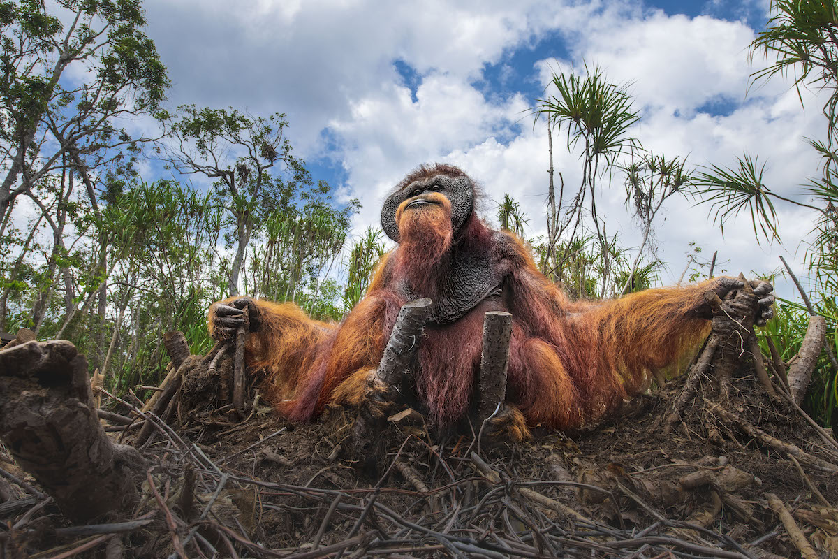 Orangutan Sitting On the Ground Surrounded by Fallen Palm Trees