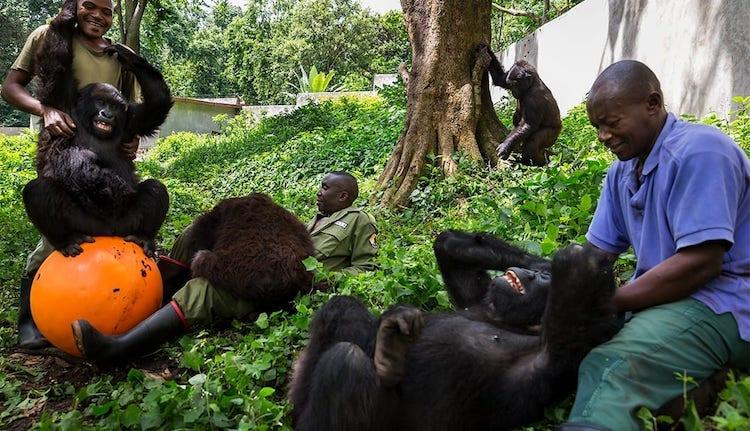 Orphaned Gorillas at Senkwekwe Center