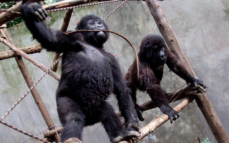 Orphaned Mountain Gorillas