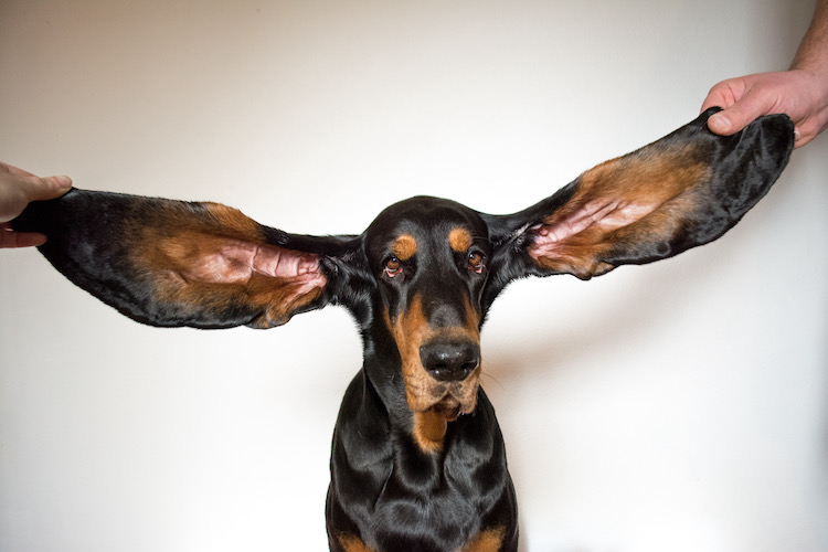 Longest Ears on a Dog Guinness World Records