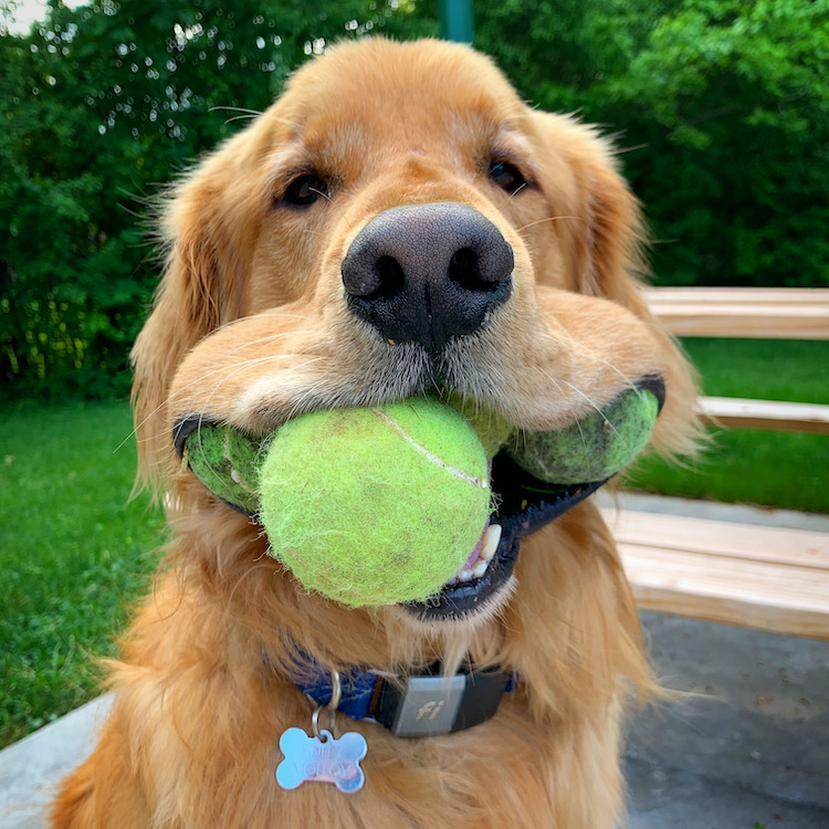 Most Tennis Balls Held in the Mouth by a Dog Guinness World Records