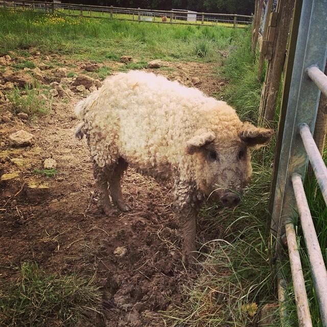 Adorbly Fuzzy Mangalitsa Pigs Look Like Sheep And Act Like