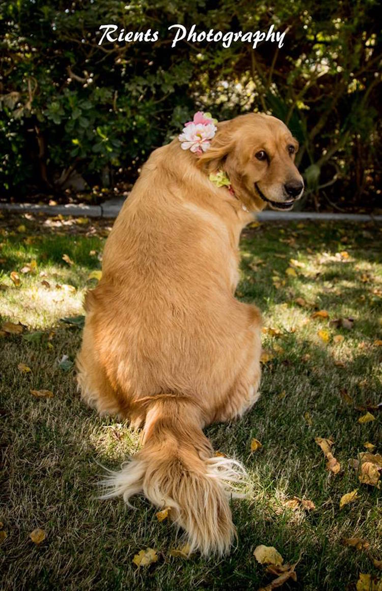 Pregnant Golden Retriever Does Maternity Photoshoot