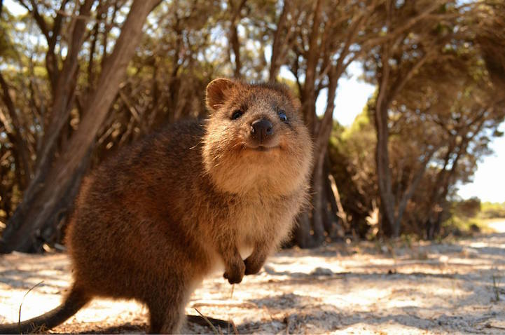 quokka selfie trend has people posing with adorable australian animal