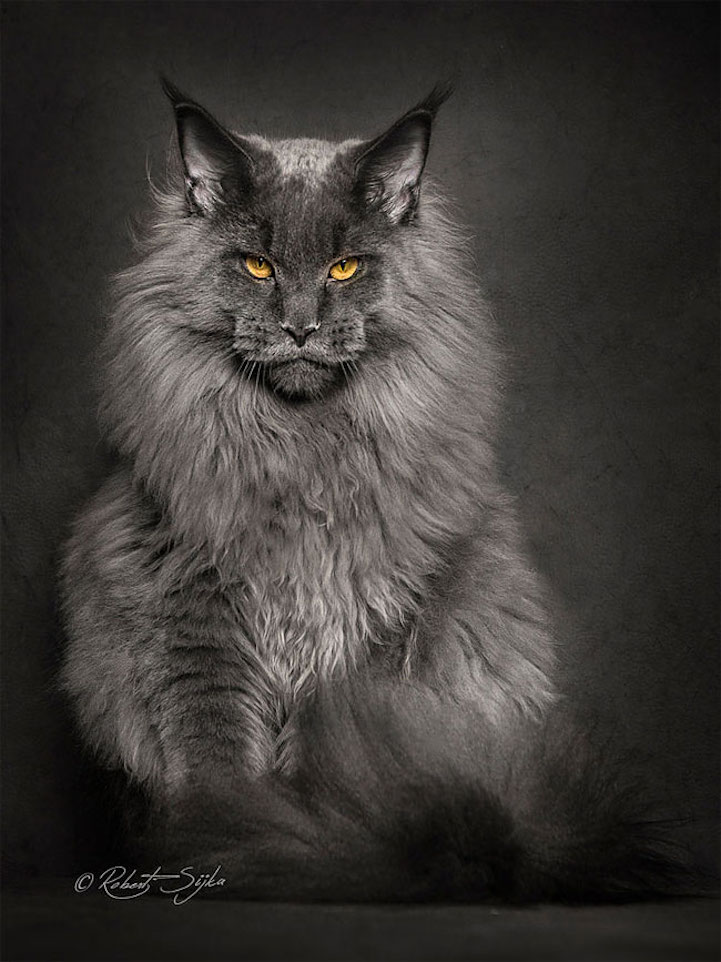 Portraits of Maine Coon Cats Who Look Like Majestic Mythical