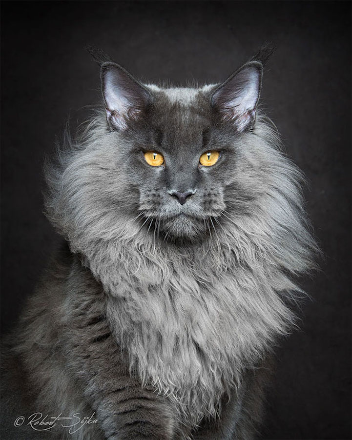 maine coon cat Breeds cat breeding maine coon