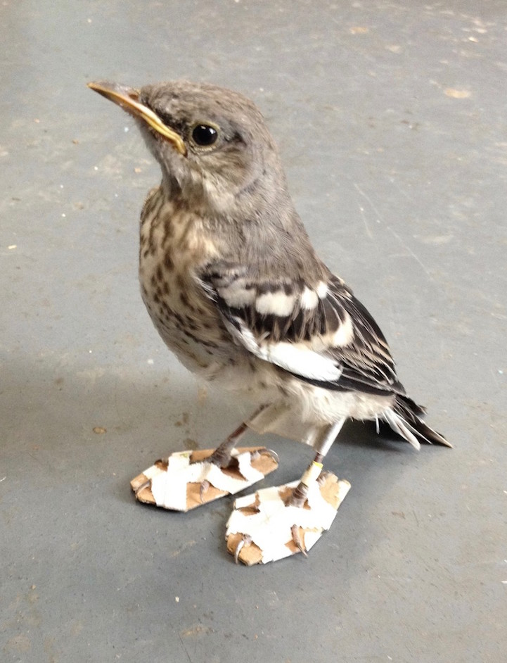 "Adorable Mockingbird Wears Tiny, Homemade ""Snowshoes"" to Heal Her Injured Feet"