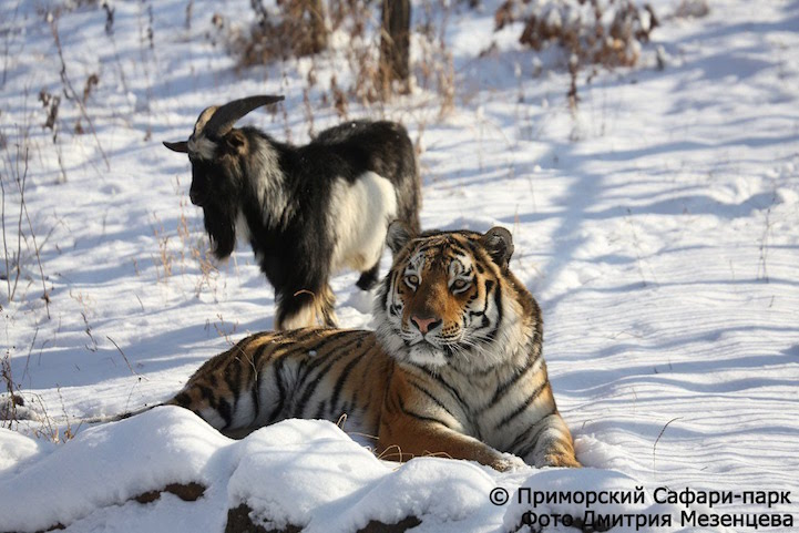 tiger and goat friendship
