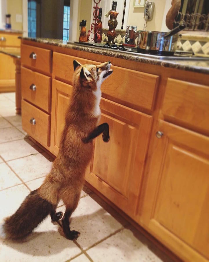Adorable Pet Fox Named Juniper Will Steal Your Heart