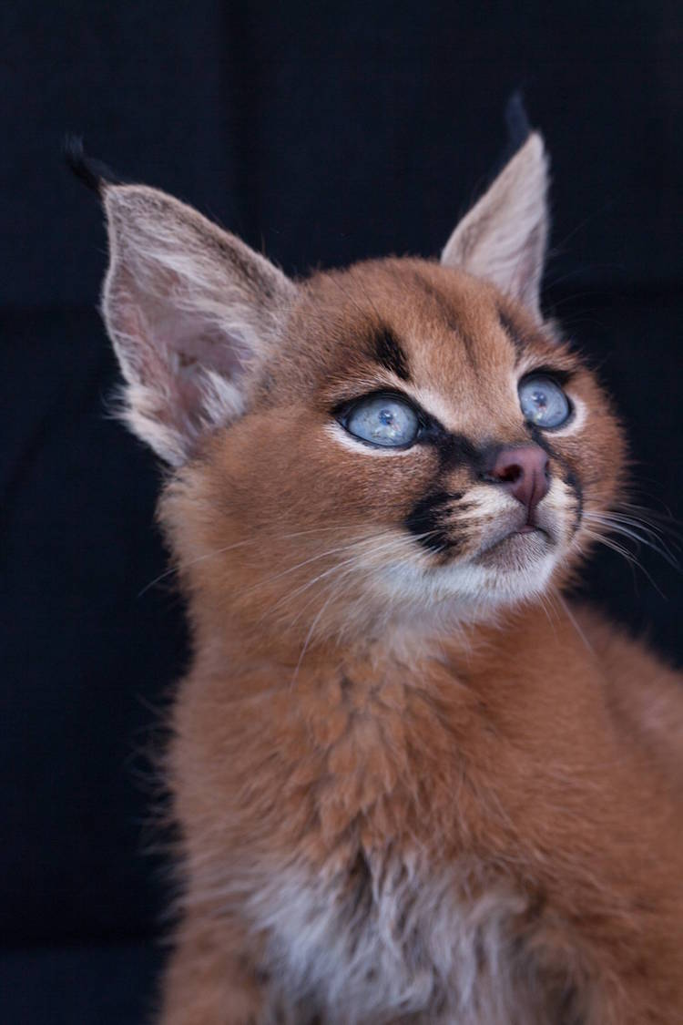 Tiny Caracal With Big Curious Eyes