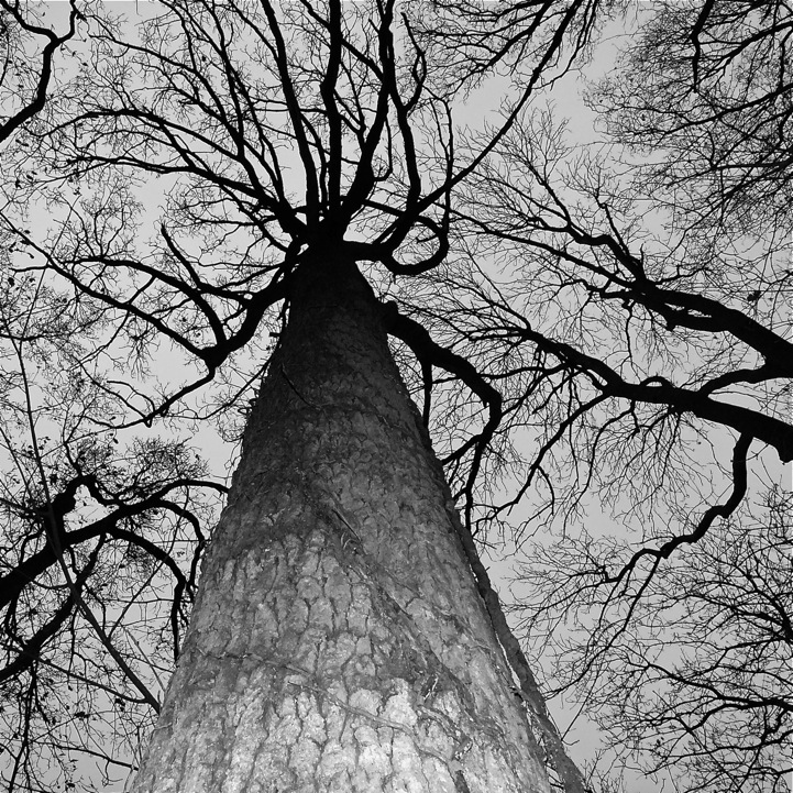 17 Inspiring Wonderful Black And White Contemporary: Looking Up At Towering Trees