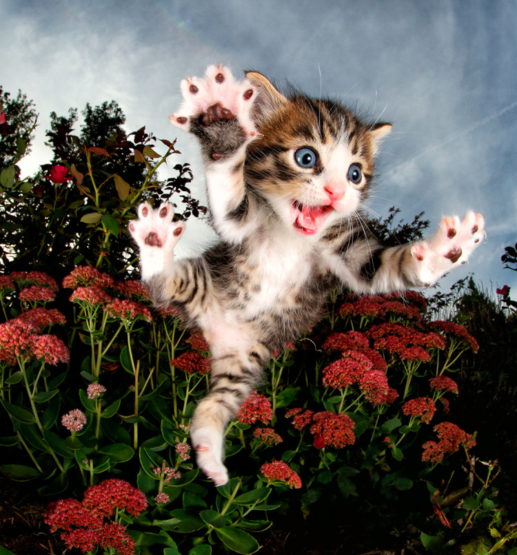 Leaping Kitten With Goofy Face