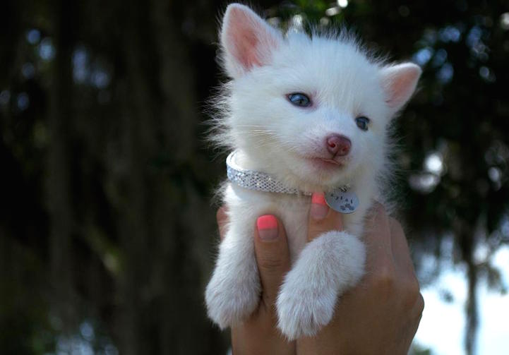 Adorable 5 Month Old Domesticated Fox Helps Raise
