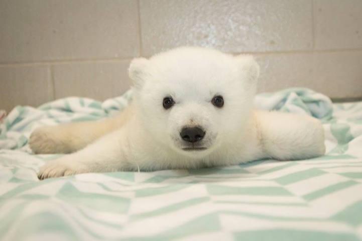 Baby Polar Bear Born At Columbus Zoo Gets A Name Selected
