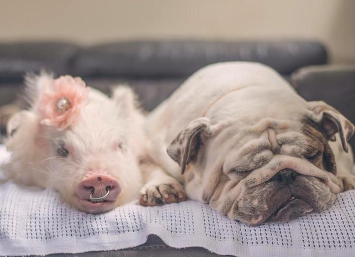 Adorable Pig Grows Up Bonding with Dogs, Thinks She's a